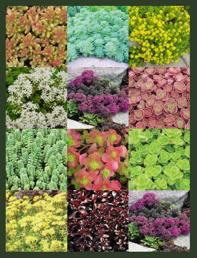 12 Sedum Collection