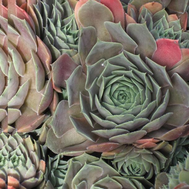 photos of succulents types of succulent plants. Black Bedroom Furniture Sets. Home Design Ideas