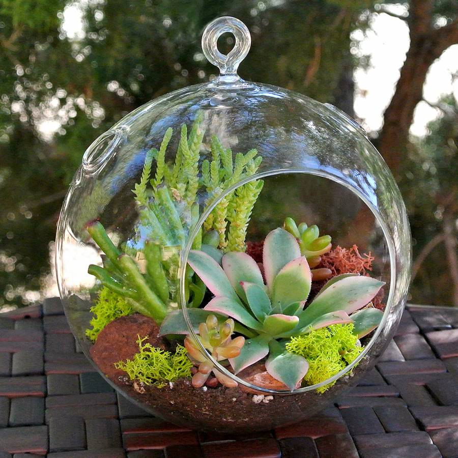 Echeveria In Glass