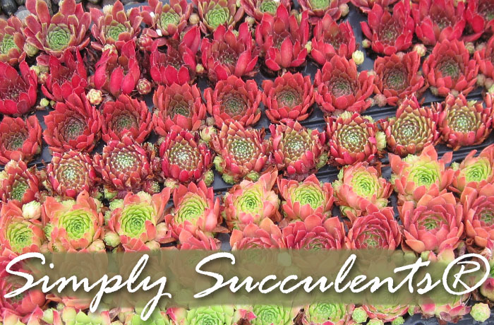 simply succulents succulent plants for sale hardy exotic